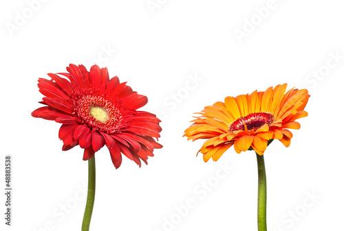 Foto op Aluminium Gerbera Two flowers of gerbera