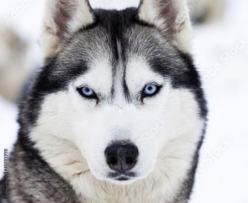 Husky z niebieskimi oczami - zbliżenie