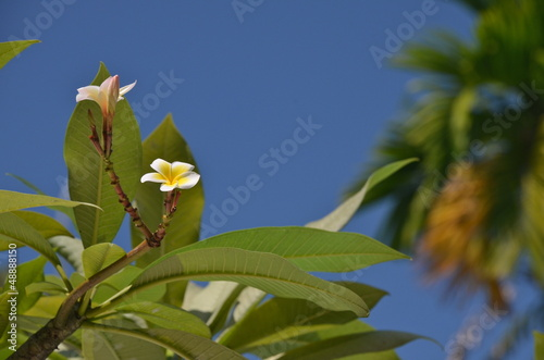 Photo  White Frangipani flowers in Singapore Botanic Gardens