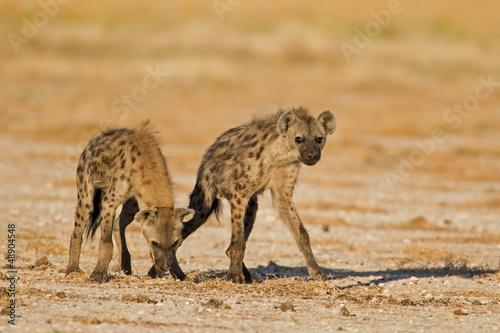 In de dag Hyena Two Spotted hyenas in open field; Crocuta crocuta
