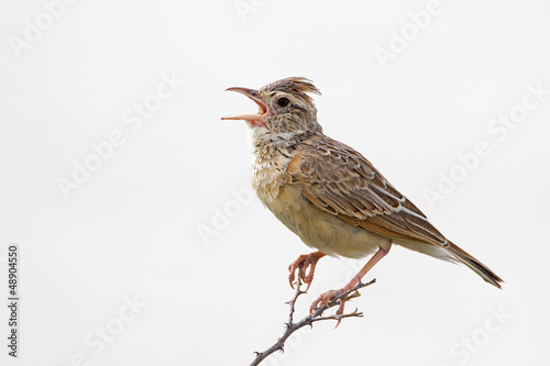 Close-up of Rufous-naped lark; Mirafra africana Fototapeta