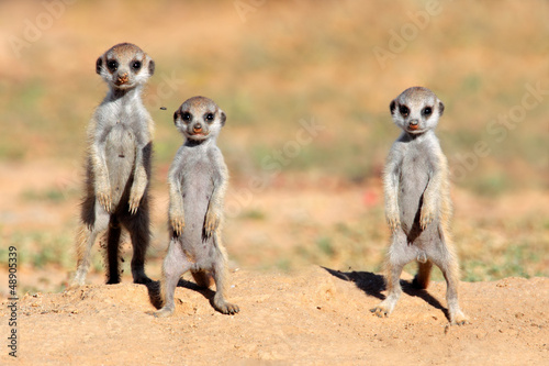 Fényképezés  Cute meerkat babies, Kalahari desert