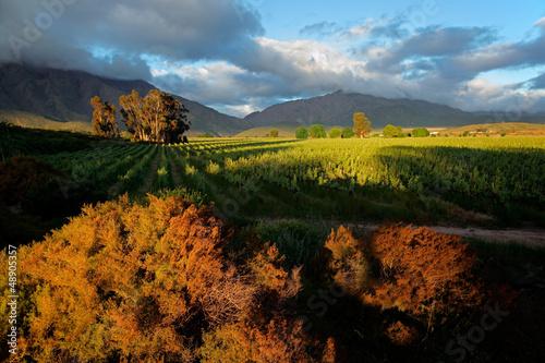 Poster Afrique du Sud Vineyard landscape, Western Cape