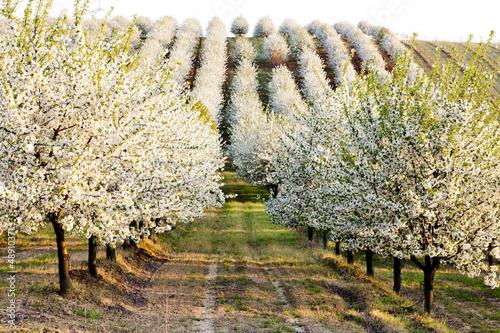 blooming orchard in spring, Czech Republic Fototapeta