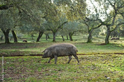 Foto  Cerdo ibérico de pata negra en la dehesa