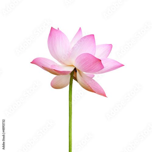 Garden Poster Lotus flower Pink lotus