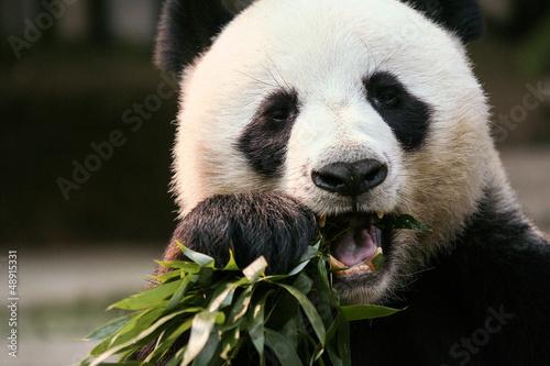 Photo Stands Panda Panda in Chaingmai Zoo, Thailand.