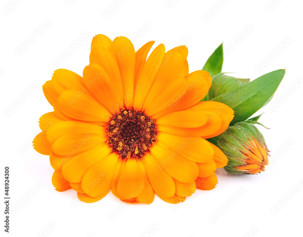 Fototapety, obrazy: Calendula flowers