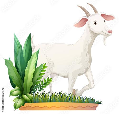 Spoed Foto op Canvas Boerderij A white goat