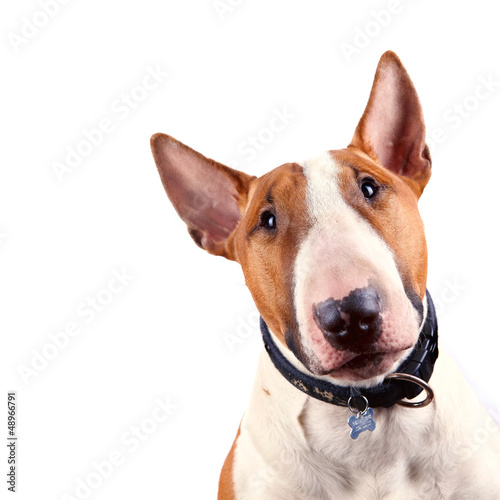 Portrait of a bull terrier Fototapet