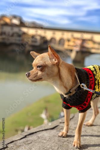 Fotografie, Obraz  Chihuahua Sul Ponte Vecchio Firenze