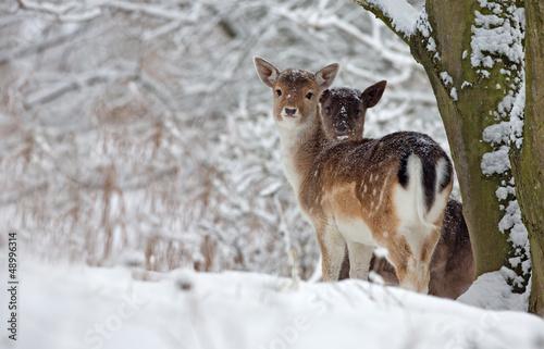 Photo  Two fallow deer in a snowy landscape