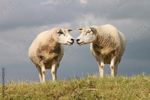 Keuken foto achterwand Schapen Schafe - 003 - NL - Paar