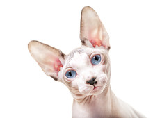 Canadian Sphynx Cat With Tilted Head Close-up Portrait