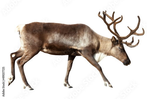 Reindeer. Isolated over white Canvas Print