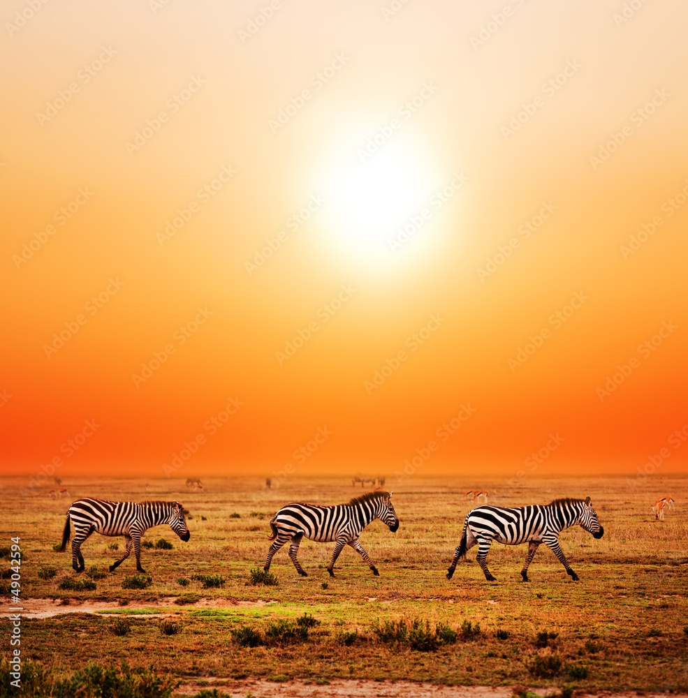 Fototapety, obrazy: Zebry na Afrykańskiej sawannie