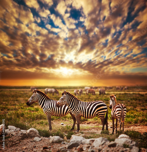 Zebras herd on African savanna at sunset. Safari in Serengeti Poster