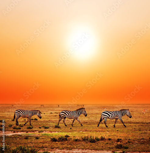 Fototapeta Zebras herd on African savanna at sunset. Safari in Serengeti obraz
