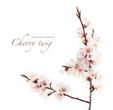 branch of cherry in bloom