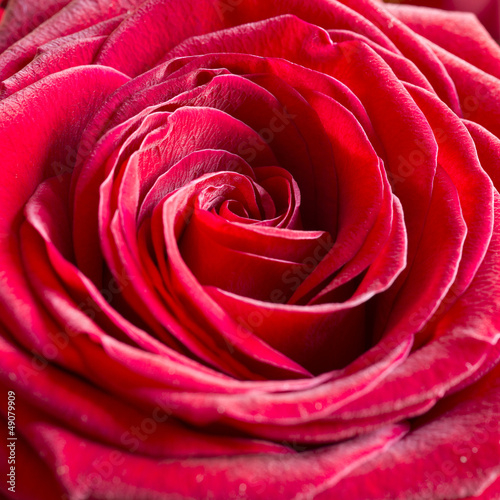 Bright Pink Rose Background - 49079909