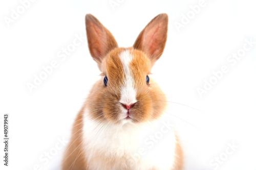 Fototapeta bunny obraz