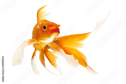 Fotografie, Tablou Golden Koi Fish