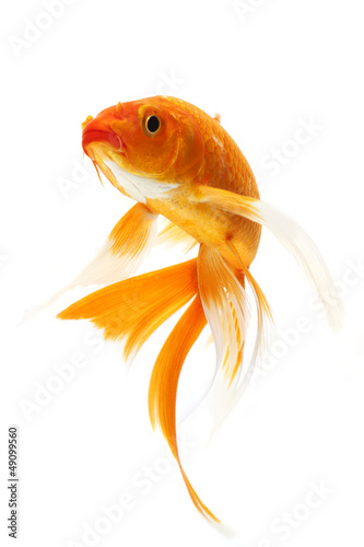 Golden Koi Fish Canvas Print