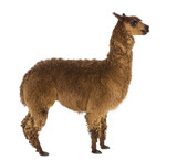 Side view of an Alpaca against white background