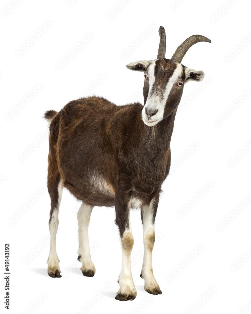 Fototapeta Toggenburg goat against white background