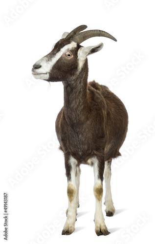 Toggenburg goat looking left