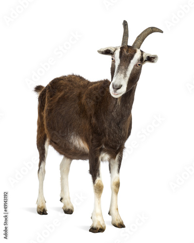 Toggenburg goat against white background Canvas Print