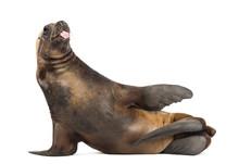 California Sea Lion, 17 Years Old, Lying