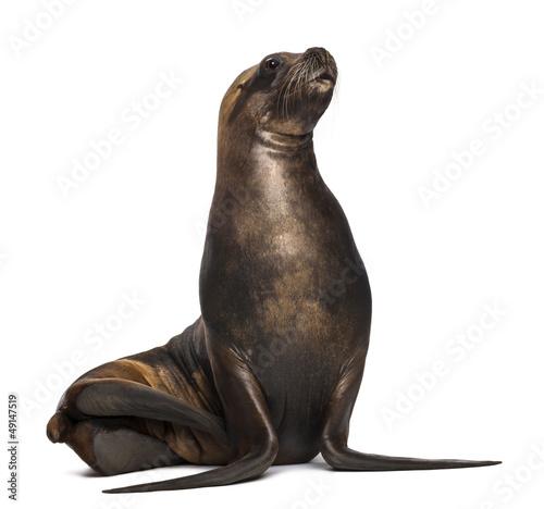 Fototapeta premium California Sea Lion, 17 lat, patrząc w górę