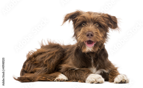 Photographie  Crossbreed, 5 months old, lying and looking at camera