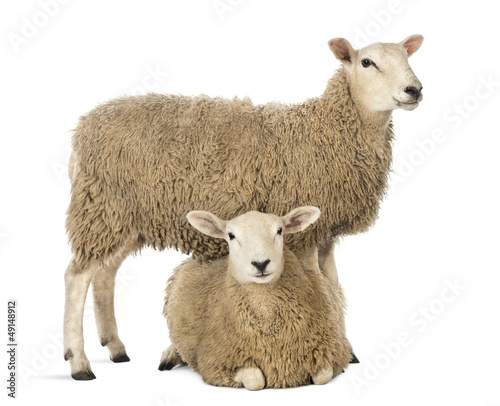 Tuinposter Schapen Sheep standing over another lying