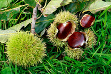Edible Sweet Chestnuts