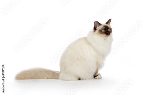 Photographie portrait véritable chat Sacré de Birmanie