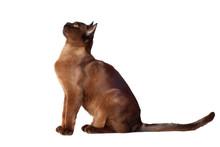 Brown Burmese Cat Sitting On White