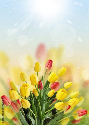 duzy-bukiet-tulipanow