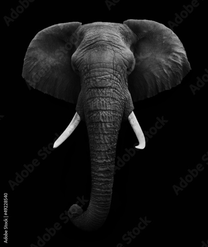 African Elephant isolated #49228540