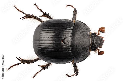 Stampa su Tela earth-boring dung beetle species Geotrupes stercorarius