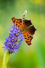 Question Mark Butterfly On Pickerelweed Flower