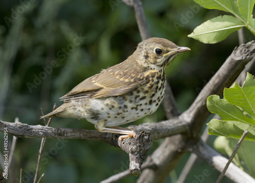 Fotobehang Vogel Song thrush chick.