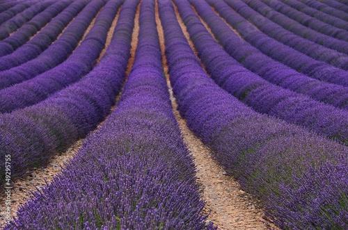 Lavendelfeld - lavender field 79