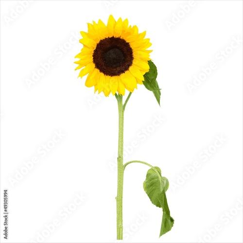 Słonecznik - fototapety na wymiar