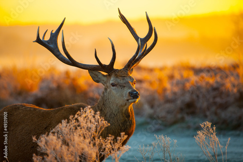 Poster Chasse Red deer in morning sun