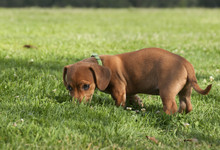 Mixed Breed Dog With Nose In The Grass