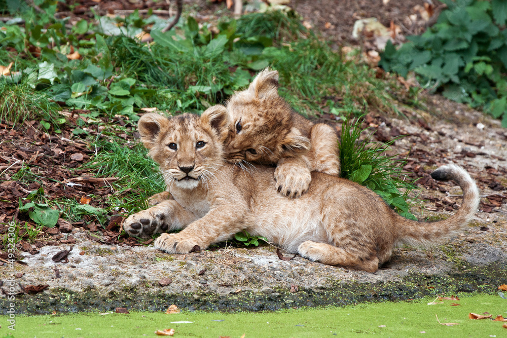 Photo  two lion cubs playing