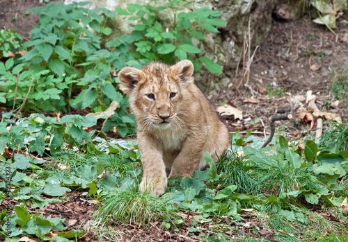 Fotografiet  lion baby