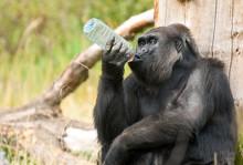 Gorilla Drinking